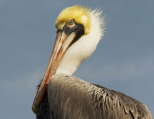 PELICAN LOVE NATURE TAINOS GUADELOUPE