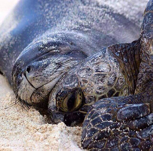TORTUE LOVE NATURE TAINOS GUADELOUPE
